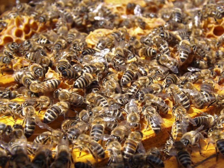 Swarm of honeybees on a rack of honeycomb
